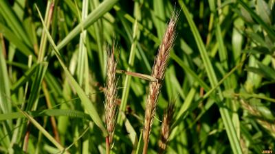 Elymus virginicus L. (Virginia wild rye), leaves and inflorescence