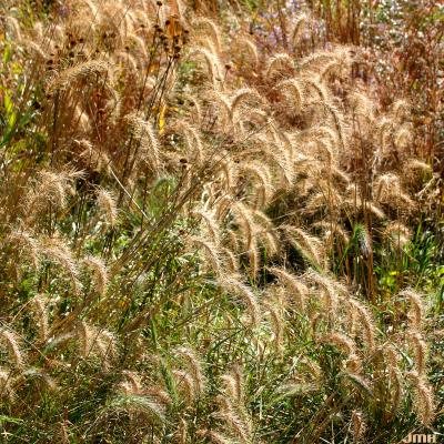 Elymus canadensis L. (Canada wild rye), inflorescence, fall color