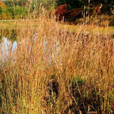 Andropogon gerardii Vitman (big bluestem), leaves and inflorescence