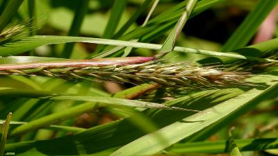 Elymus virginicus L. (Virginia wild rye), close-up of leaves and inflorescence