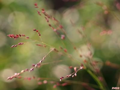 Panicum virgatum 'Shenandoah' (Shenandoah switch grass), close-up of inflorescence