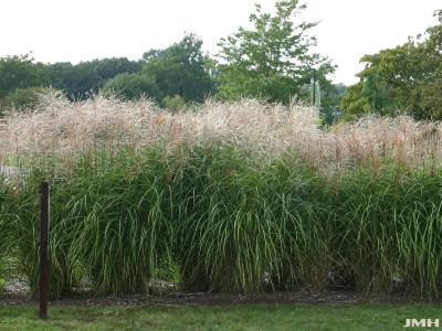 Miscanthus sinensis 'Positano' (Positano silver grass), growth habit