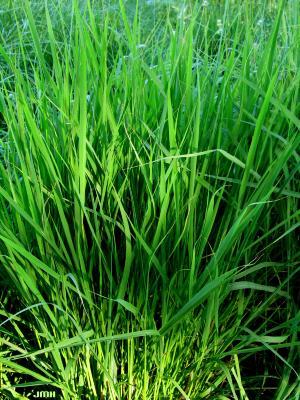 Panicum virgatum L. (switch grass), leaves
