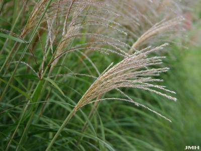 Miscanthus sinensis 'Positano' (Positano silver grass), inflorescence