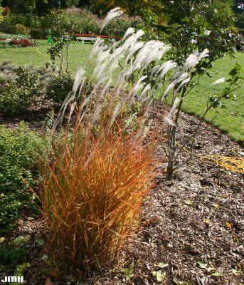 Miscanthus sinensis ssp. purpurascens (Andersson) Tzvelev (Silver Grass), growth habit