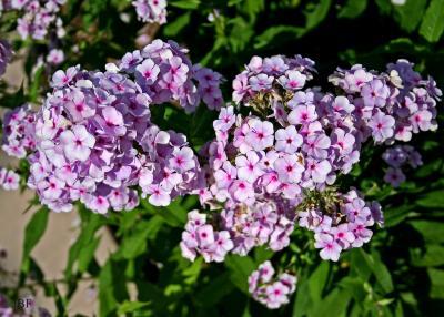 Phlox paniculata 'Miss Jessica' (Miss Jessica garden phlox), flowers