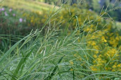 Spartina pectinata Link (prairie cord grass), close-up of inflorescence