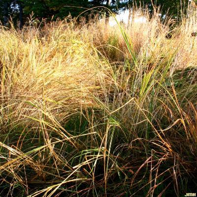 Spartina pectinata Link (prairie cord grass), growth habit, fall color