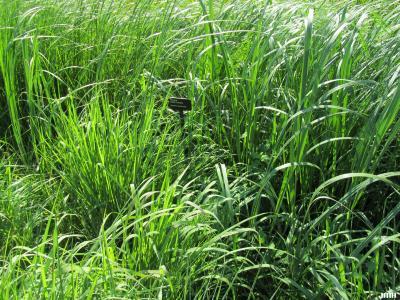 Spartina pectinata Link (prairie cord grass), leaves