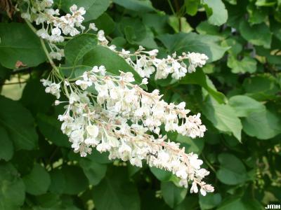 Fallopia baldschuanica (Regel) Holub (Bokhara fleece flower), vine, flowers