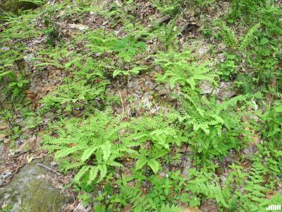 Adiantum pedatum L. (maidenhair fern), growth habit