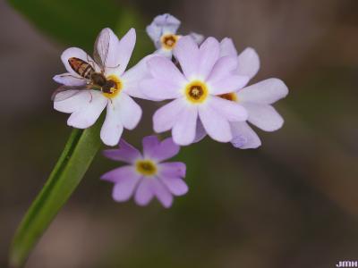 Primula mistassinica Michx. (Mistassini primrose), flower