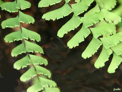 Adiantum pedatum L. (maidenhair fern), close-up of pinnae