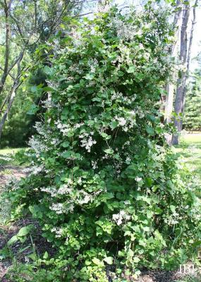 Fallopia baldschuanica (Regel) Holub (Bokhara fleece flower), vine, growth habit