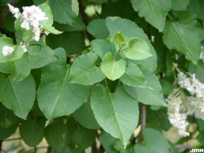 Fallopia baldschuanica (Regel) Holub (Bokhara fleece flower), vine, leaves