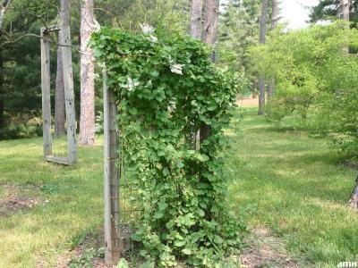 Fallopia baldschuanica (Regel) Holub (Bokhara fleece flower), vine form, growth habit