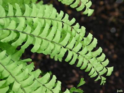 Adiantum pedatum L. (maidenhair fern), leaf blades