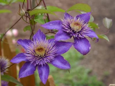 Clematis 'Multi Blue' (Multi Blue clematis), flowers