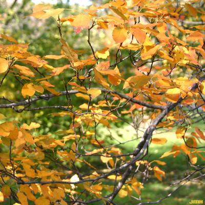 Amelanchier laevis Wieg. (Allegheny serviceberry), branch