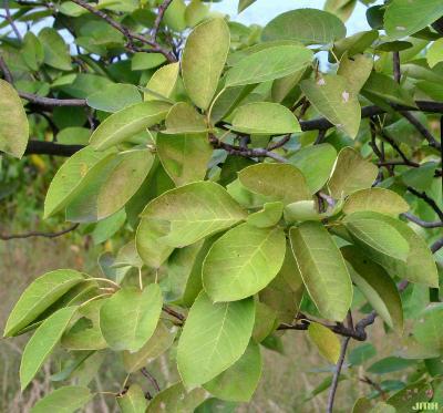 Amelanchier laevis Wieg. (Allegheny serviceberry), leaves