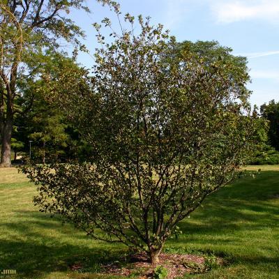 Crataegus viridis 'Winter King' (Winter King green hawthorn), growth habit, tree form