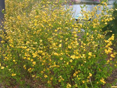 Kerria japonica 'Golden Guinea' (Golden Guinea Japanese kerria), growth habit