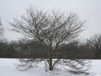 Crataegus viridis 'Winter King' (Winter King green hawthorn), growth habit, structure in winter