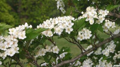 Crataegus viridis 'Winter King' (Winter King green hawthorn), flowers