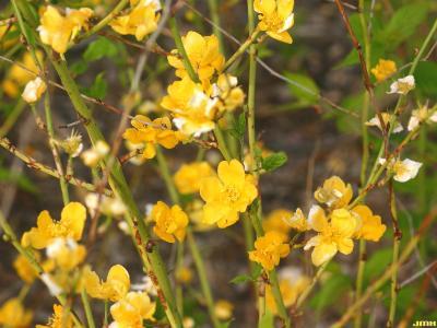 Kerria japonica 'Golden Guinea' (Golden Guinea Japanese kerria), flowers