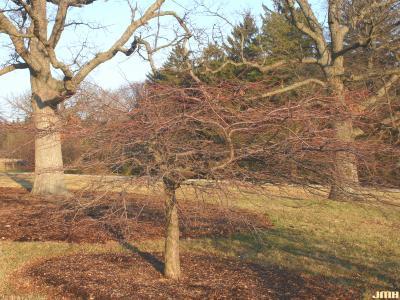 Malus 'Louisa' (Louisa crabapple), growth habit, tree form, winter