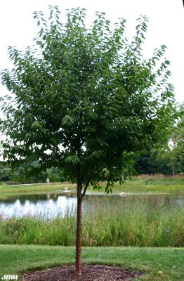 Prunus maackii Rupr. (Amur cherry), growth  habit, tree form