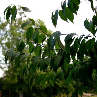 Prunus maackii Rupr. (Amur cherry), leaves