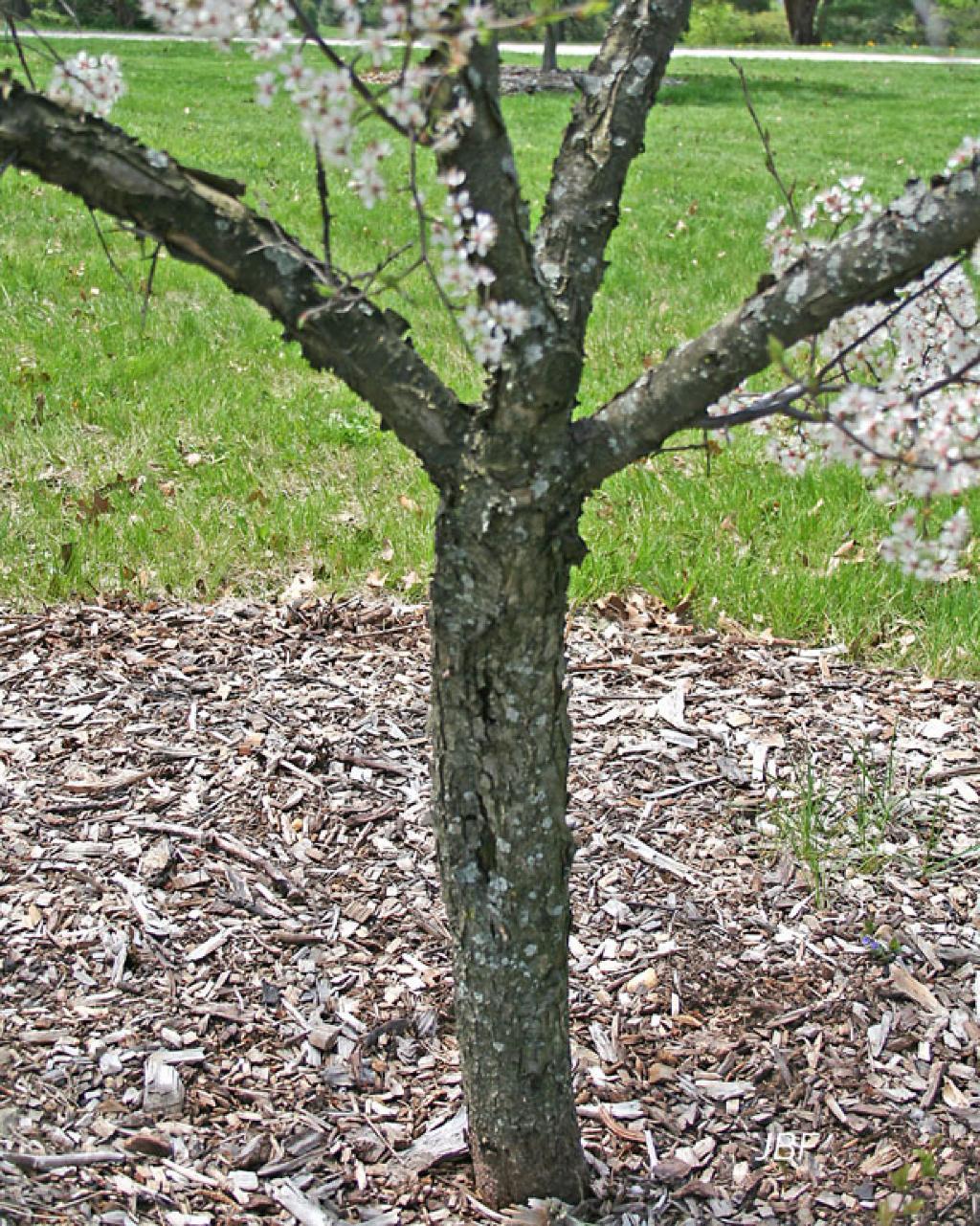 Prunus americana var. lanata (Sudw.) Mack. & Bush (wild plum), bark