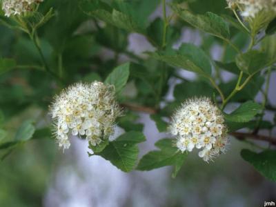 Physocarpus opulifolius (L.) Maxim. (common ninebark), flowers