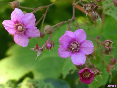 Rubus odoratus L. (purple-flowering raspberry), close-up of flowers