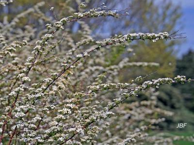 Spiraea thunbergii 'Compacta' (Compact early spirea), flowering branches