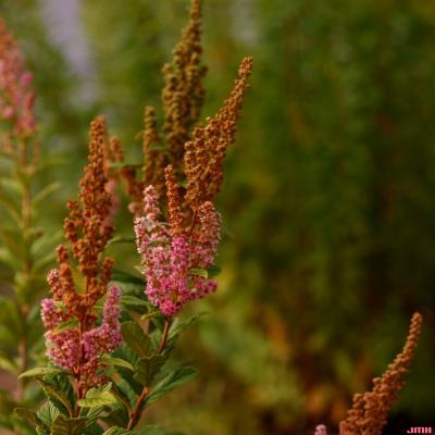Spiraea tomentosa var. rosea (Raf.) Fern. (hardhack), flowers
