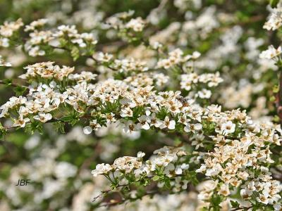 Spiraea thunbergii 'Compacta' (Compact early spirea), flowers