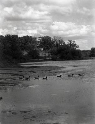 Canada geese on Lake Marmo looking northeast to Cedar Point
