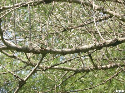 Populus alba L. (white poplar), branch