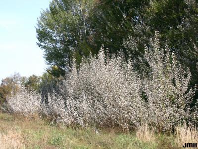 Populus alba L. (white poplar), growth habit, tree form