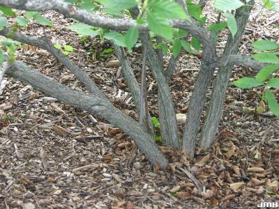 Cephalanthus occidentalis L. (buttonbush), bark