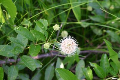 Cephalanthus occidentalis L. (buttonbush), fruit, flowers, and leaves