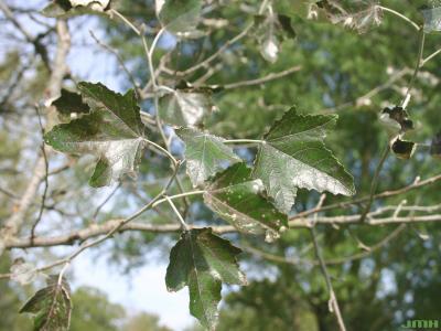 Populus alba L. (white poplar), leaves