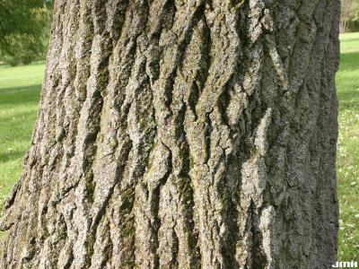 Populus alba L. (white poplar), bark