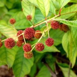 Cephalanthus occidentalis L. (buttonbush), ripe fruit