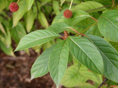 Cephalanthus occidentalis L. (buttonbush), leaves
