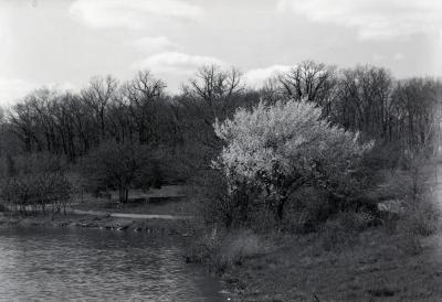 East end Lake Marmo with Prunus subhirtella in bloom at shoreline
