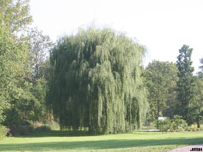 Salix alba 'Tristis' (golden weeping willow), growth habit, tree form
