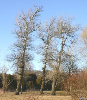 Populus alba L. (white poplar), growth habit, winter tree form